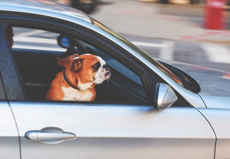 dog in a hot car dies in minutes