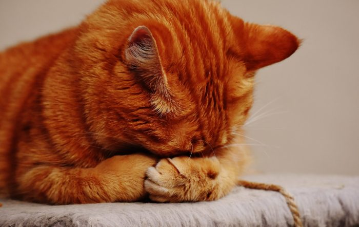 Red haired cat covering his eyes