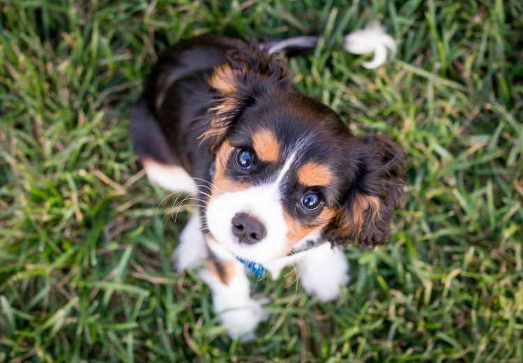 Puppy sitting on grass, looking directly up at the camera