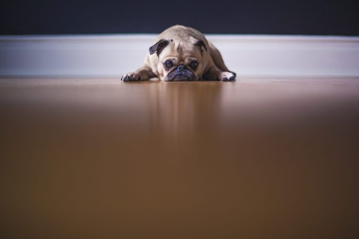 Anxious Pug lying flat on the floor